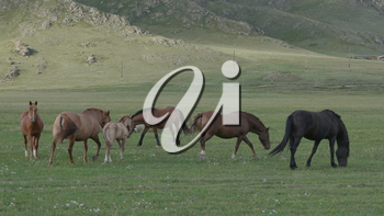 Horses with foals grazing in a pasture in the Altai Mountains.