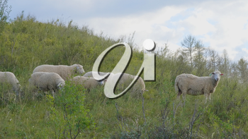 Group of sheep gazing, walking and resting on a green pasture in Altai mountains. Siberia, Russia.