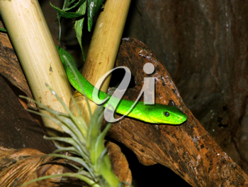 Royalty Free Photo of a Poisonous Southern Africa Green Mamba Snake in a Tree