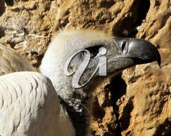 Royalty Free Photo of a Close-up of African White Backed Vulture