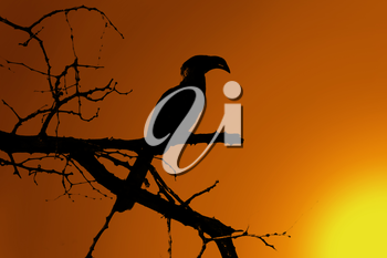 Royalty Free Clipart Image of a Hornbill at Twilight