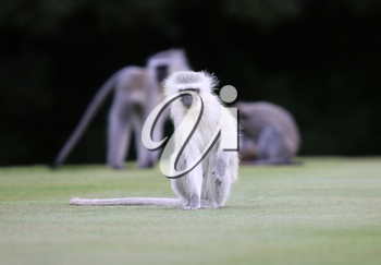 Close-up picture of Vervet Monkey on Golf Course