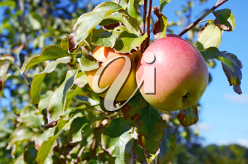 apples on a branch with green leaves
