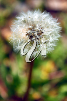 white fragility dandelion single on meadow