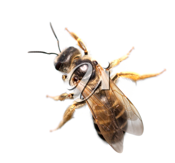 bee on a white background. macro