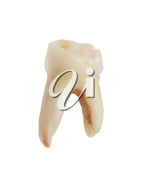 tooth on a white background