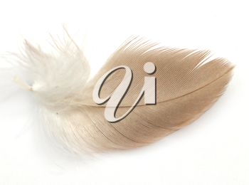 feather on a white background. Macro
