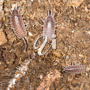 beetle wood louse in nature