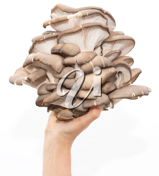 oyster mushrooms in a hand on a white background
