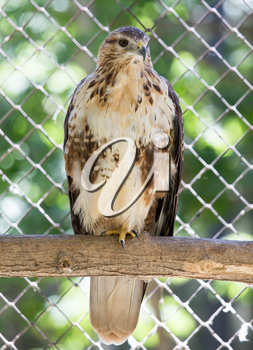 Hawk in zoo