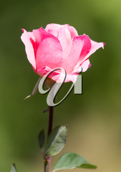 Light red rose with buds on a background of a green bush