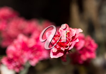 red artificial flower as background