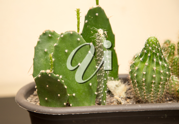 green prickly cactus in the home