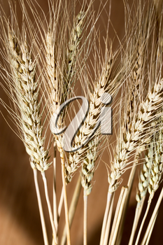 ears of wheat as background