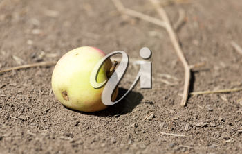 apple on the ground in nature