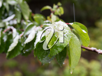 First snow on the leaves of plants