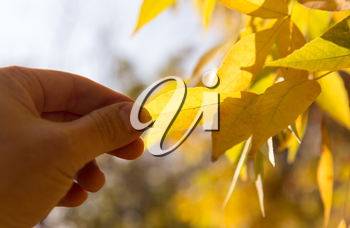 yellow leaf in hand on nature