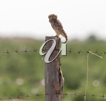 Owl on a post with barbed wire