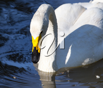 White swan on a pond in the park .