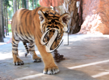 Royalty Free Photo of a Tiger at the Zoo