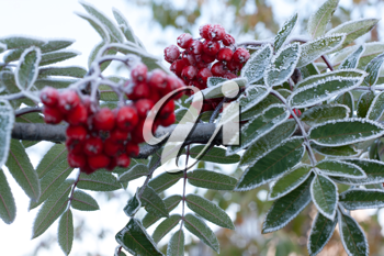 Royalty Free Photo of Frost on a Rowanberry Branch