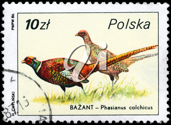 POLAND - CIRCA 1986: A Stamp shows image of a Common Pheasants with the designation Phasianus colchicus from the series Wildlife, circa 1986
