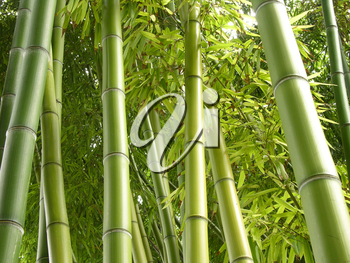 Royalty Free Photo of Bamboo