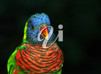 Royalty Free Photo of a Lorikeet Bird