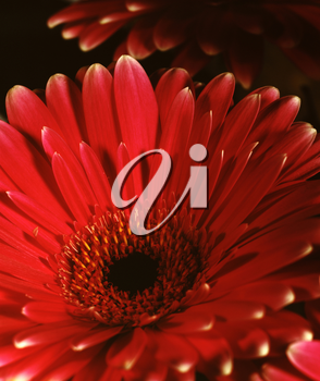 Royalty Free Photo of a Gerbera Daisy