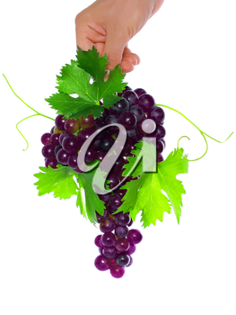 Branch of black grapes hold in hand with green leaf. Isolated