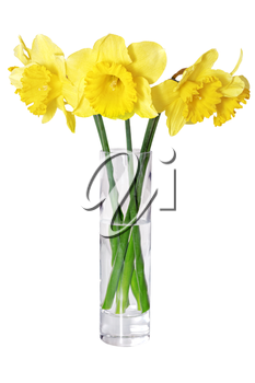 Beautiful spring flowers in vase: yellow  narcissus (Daffodil). Isolated over white.