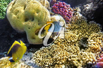 Coral and fish in the Red Sea.Butterfly fish.Egypt