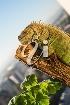 iguana crawling on a piece of wood and posing