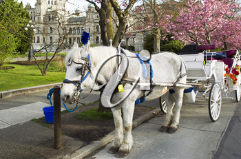 White horse with cart attached in front of capital building of Victoria Canada