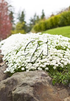 Tiny white flowers on top of rocks with trees and green background with skyline