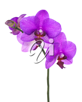 Blooming twig of lilac orchid isolated on white background. Closeup.