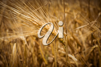 Grain wheat ears, yellow ripe field, agriculture tinted background.
