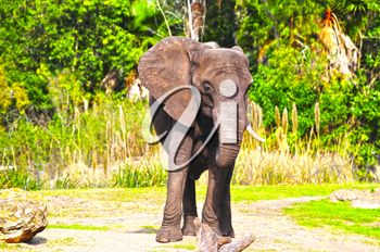 Male african elephant standing his ground