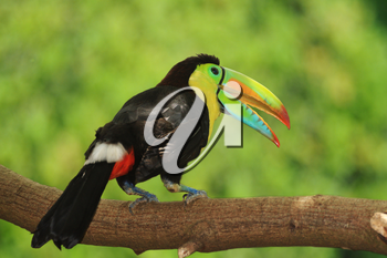 Beautiful Keel-billed Toucan ( Ramphastos sulfuratus) perched on a branch in the rain forest of Panama