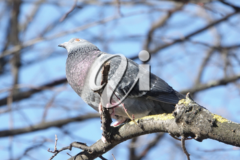 Common Wood Pigeon (Columba palumbus)  perched on a tree branch near the Eiffel Tower in Paris