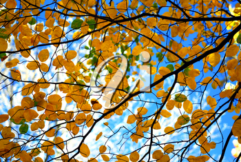 Tree branches with fall yellow leaves on blue sky background in autumn forest