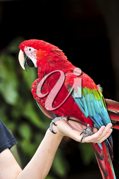 red scarlet macaw parrot sitting on hand