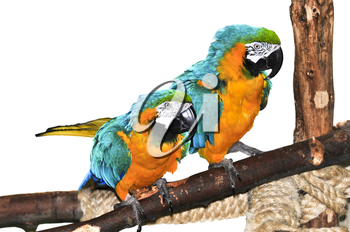 Pair of blue and yellow macaw parrots on branch