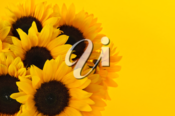 Bouquet of sunflower flowers on yellow background
