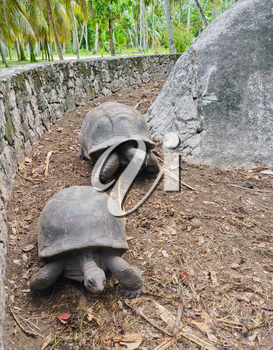 Two Giant Turtles on Seychelles, Indian Ocean, Africa