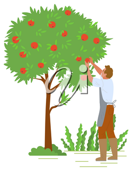 Agriculture gardener vector, isolated fruit tree with red apples. Flat style character working with plants in autumn, harvesting season reaching peak. Picking apples concept. Flat cartoon