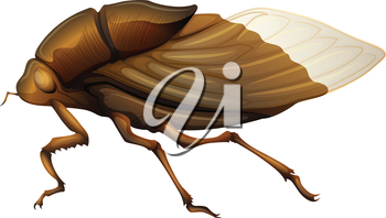 Illustration of a Cicadidae on a white background