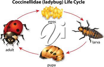 Illustration showing the life cycle of a Ladybug