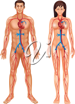 Illustration of the circulatory system