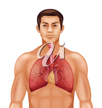 Illustration of the human respiratory system on a white background